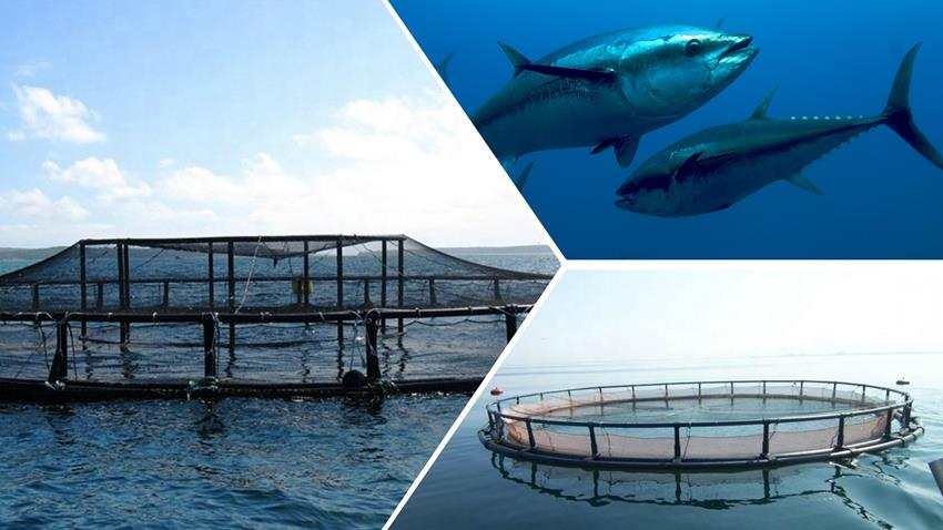 استزراع التونة الزرقاء بمنطقة جرجوب