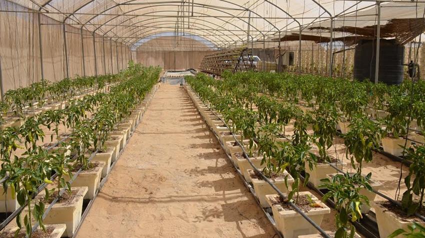 المرحلة الأولى من الصوب الزراعية بقرية الأمل