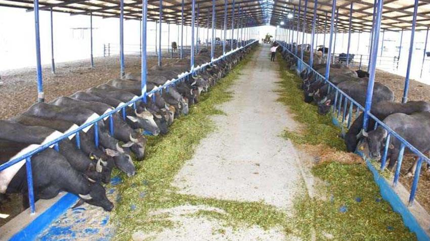 """المجمع رقم """"١"""" للإنتاج الحيواني بالبحيرة"""