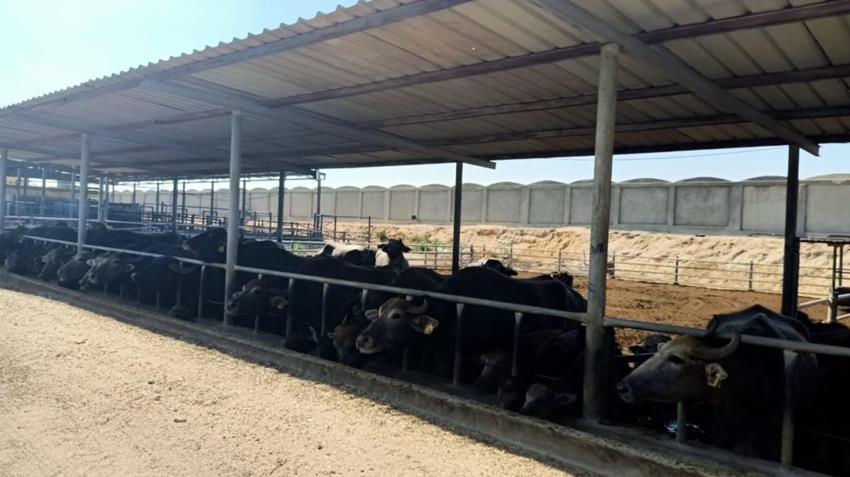 محطة الإنتاج الحيواني لتصنيع الألبان بالنوبارية بمحافظة البحيرة