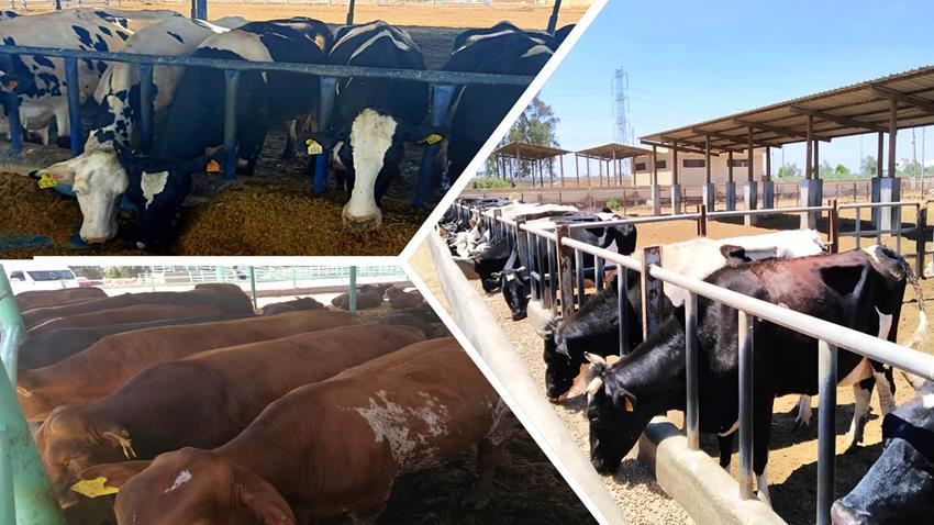 افتتاح ٥ مزارع للإنتاج الحيواني بمحافظات مختلفة